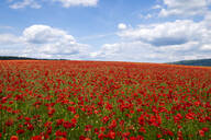 Red poppies set in the Derbyshire countryside, Baslow, Derbyshire, England, United Kingdom, Europe - RHPLF12913