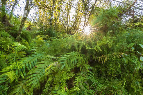 Ferns against sun light, Orakei Korako Geothermal Park, Taupo Volcanic Zone, North Island, New Zealand - FOF11099