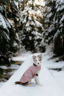 Dog in forest, Cypress cabin trail, Canada - ISF22816