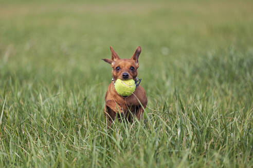 Red miniature pinscher playing with ball on a meadow - XCF00295