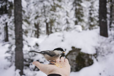 Little bird eating from the female hand in the snowy forest, Engadin, Switzerland - MRAF00459