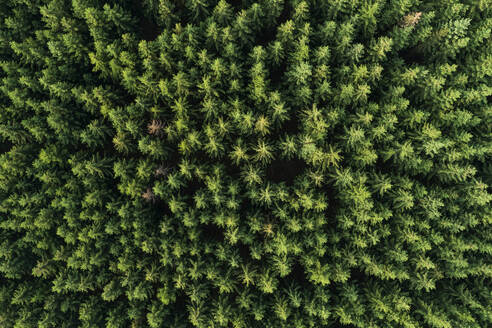 Aerial view of forest with coniferous trees. Saale-Orla-Kreis, Thuringia, Germany. - RUEF02389