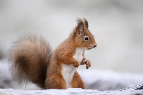 Portrait of Red Squirrel in winter standing on hind legs - MJOF01746