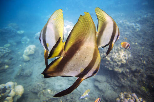 Close-up of butterflyfishes swimming in sea - CAVF69647