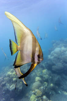 Close-up of butterflyfish in water - CAVF69650