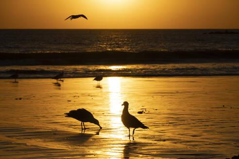 USA, California, Santa Monica, Seagulls on sandy coastal beach at sunset - SEEF00072