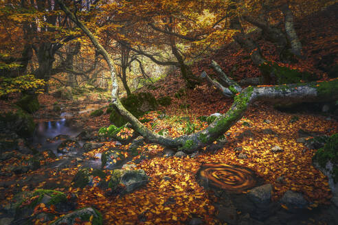Spain, Province of Leon, Cinera, Stream flowing in autumn forest covered in fallen leaves - DVGF00072