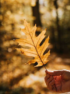 Close up of hand holding backlit oak leaf on a fall day in a forest. - CAVF70145