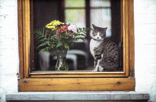Portrait of tabby cat looking through window - CAVF70675