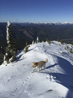High angle view of dog walking on snow covered field - CAVF71183
