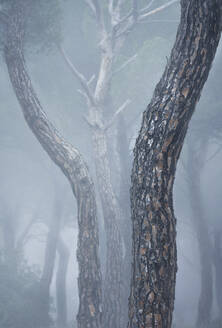 Spain, Valladolid, Tree trunks in foggy pine forest - DVGF00076