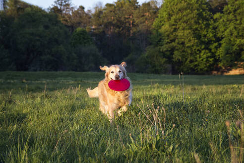 Germany, Bavaria, Munich, Golden Retriever playing with plastic disk in meadow at dusk - MAMF00960