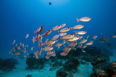 Palau, School of Big Eye fish in German Channel - GNF01516