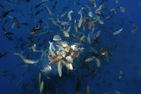Palau, Shark City, Red snapper spawning - GNF01525