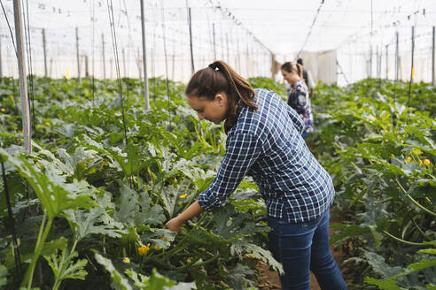 Checking zucchini plants in a greenhouse, Almeria, Spain - MPPF00429
