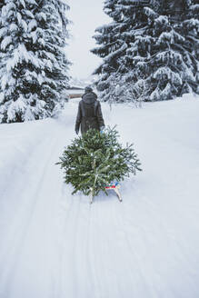 Back view of woman transporting fir tree on sledge to the compost after Christmas, Jochberg, Austria - PSIF00346