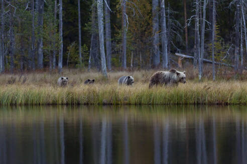 Finland, Kuhmo, Brown bear (Ursus arctos) family walking along lakeshore in autumn taiga - ZCF00868