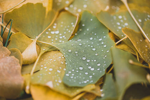 Close up of water droplets on green and yellow leaves on the ground. - CAVF72820