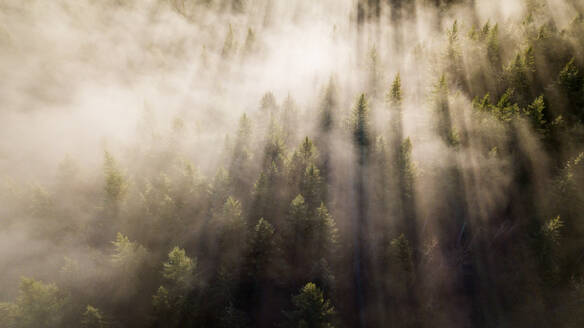 Lines in the fog slice through the trees - CAVF73534