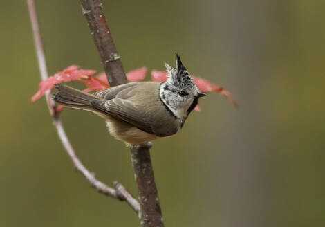 Crested tit, Lophophanes cristatus, on a twig - ZCF00894