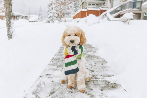 Canada, British Columbia, dog sitting in the snow, winter - CMSF00075