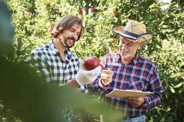 Fruit growers checking quality of apples in their orchard - ABIF01258