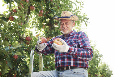 Fruit grower harvesting apples in orchard - ABIF01264