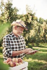 Fruit grower using digital tablet in his apple orchard - ABIF01273