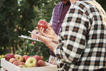 Fruit growers checking quality of harvested apples - ABIF01276