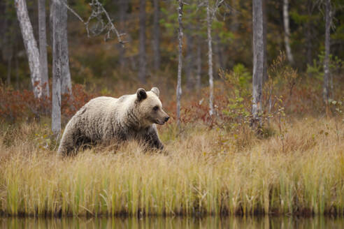 Finland, Kainuu, Kuhmo, Brown bear (Ursus arctos) walking along grassy lakeshore in autumn taiga - ZCF00907