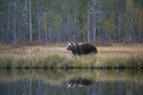 Finland, Kainuu, Kuhmo, Brown bear (Ursus arctos) standing on grassy lakeshore in autumn taiga - ZCF00913