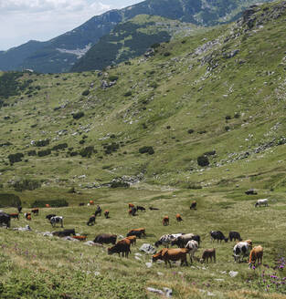 Bulgaria, Rila mountains, Cows grazing in valley - BZF00510