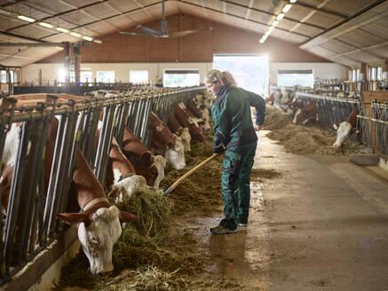 Female farmer feeding cows in stable on a farm - CVF01565