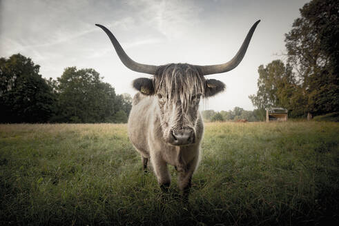 Cow standing in meadow - JOHF06686