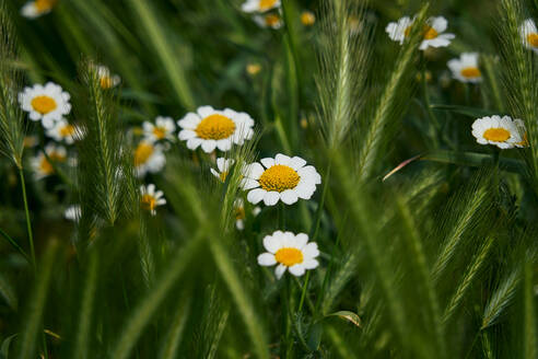 Daisy flowers with their characteristic yellow and white colors among the green grass. macro detail - CAVF74195