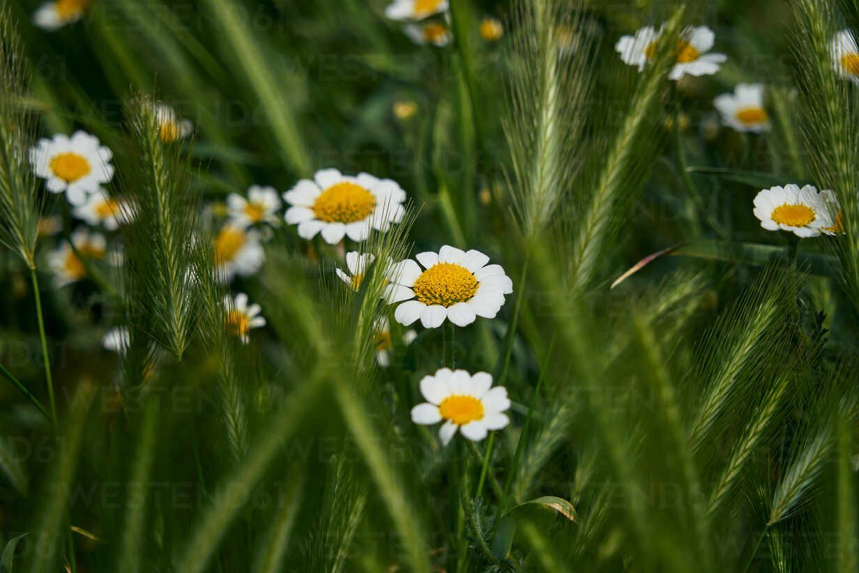 Daisy flowers with their characteristic yellow and white colors among the green grass. macro detail - CAVF74195 - Cavan Images/Westend61