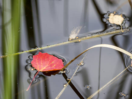 Germany, Bavaria, Autumn leaf floating in pond - HUSF00112
