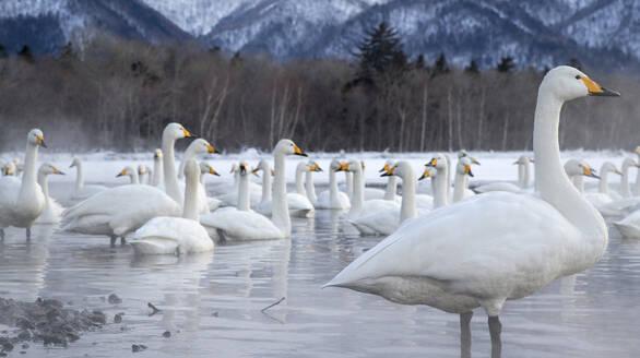 Tundra swans at winter - JOHF07875