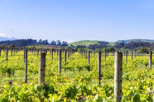 Vineyard, Martinborough Region, North Island, New Zealand - SMAF01839
