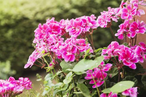 Pink pelargoniums blooming in summer - GWF06435