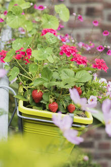 Strawberries and various flowers growing in window box during summer - GWF06449