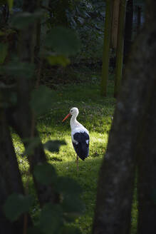 Germany, Bavaria, Poing, Rear view of stork standing on one leg in forest - AXF00837
