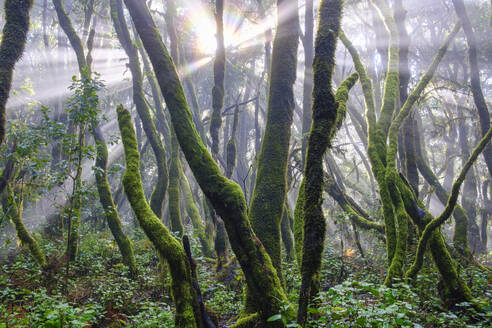 Spain, Province of Santa Cruz de Tenerife, Sunlight piercing branches of forest trees in Garajonay National Park - SIEF09568