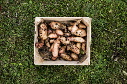 High angle close up of wooden crate with freshly harvested potatoes on a lawn. - MINF13960