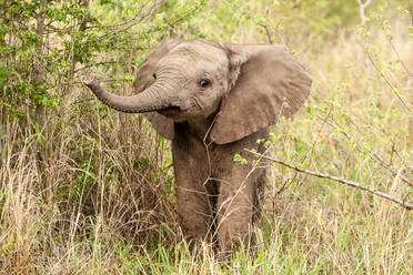 An elephant calf, Loxodonta africana, lifts its trunk while standing in greenery - MINF14046