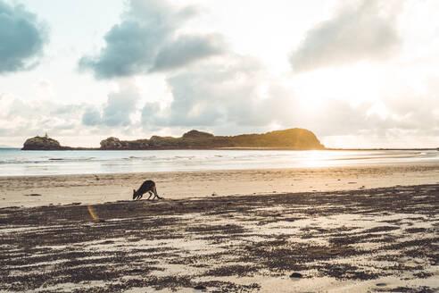 Small Kangaroo at beach against cloudy sky during sunrise - CAVF76196