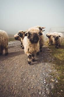 Herd of valais blacknose sheep walking through fog - CAVF76202