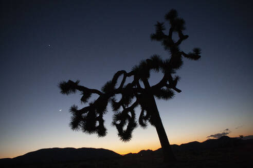 Silhouette of a large Joshua Tree and the moon at twilight. - CAVF76436