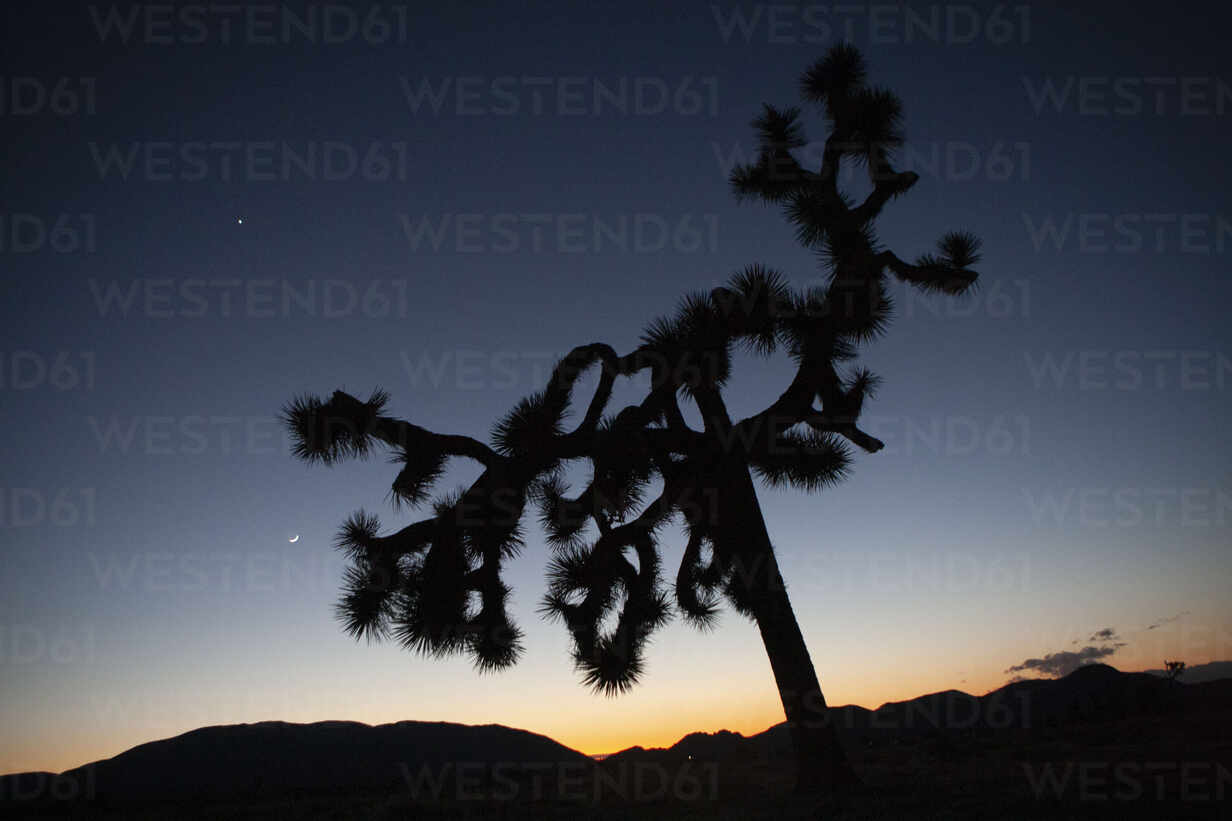 Silhouette of a large Joshua Tree and the moon at twilight. - CAVF76436 - Cavan Images/Westend61