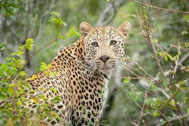 A leopard, Panthera pardus, looks over its shoulder, surrounded by greenery, looking out of frame - MINF14392
